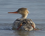 Merganser Young Red Breasted (female)