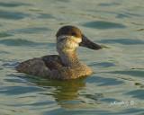 Ruddy Duck- Imature  Oxyura jamaicensis.