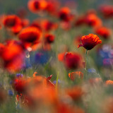 gallery : Flowers in Squares