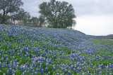 Bluebonnet Carpet