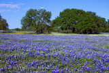 Bluebonnet Savanna