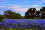 Evening Bluebonnets