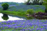 Bluebonnet Pond Reflections