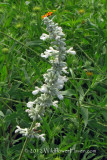 White Mealy Sage