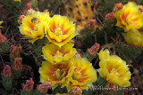 Bees in the Prickly Pear