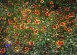 Firewheels Still Blooming