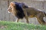 DC_Lion_11.jpg