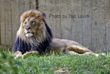 DC_Lion_12.jpg