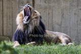 DC_Lion_14.jpg