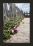 Flowers at Nauset Beach