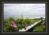 Sea roses at Nauset Beach