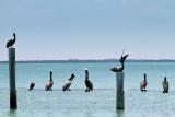 Pelicans in a row