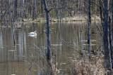 Swan in spring