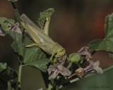 HDR Grasshopper