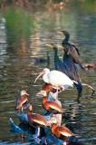 The Black-bellied Tree Ducks, White Ibis & Anhingas