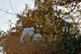 White Egrets Nesting