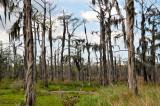 Bald Cypress At  The Swamp