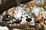 The Black-bellied Tree Ducks