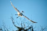 White Egret's Spreaded Wings
