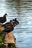 The Black-bellied Whistling-ducks