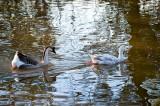 Audubon Park Geese