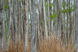 Bald Cypress Forest