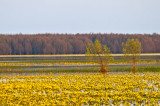 Biebrza River Yellow Wetlands