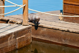 American Mink In Poland