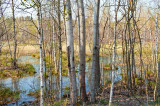 Birches And The Swamp