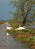 Swans At The Flooded Road