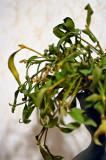 Mistletoe Story