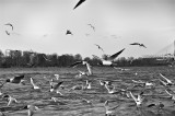 Seagulls Over The River
