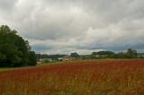 The Buckwheat Field