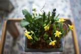 Daffodil @f1.4 D700