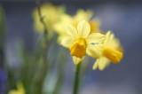 Daffodil @f2.8 D700