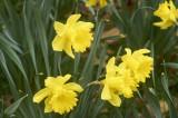 Daffodil @f5.6 NEX5