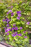 Clematis Reala