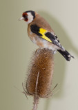 Putter - European Goldfinch - Carduelis carduelis