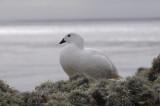 Kelp Goose - Chloephaga hybrida malvinarum