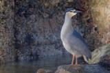 Black-crowned Night-heron - Nycticorax n. falklandicus - Falklandkwak