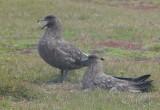 Falkland Skua - Catharacta antarctica