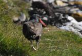 Blackish Oystercatcher - Haematopus ater - Zwarte Scholekster