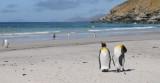 King Penguin-Aptenodytes patagonicus