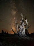 Bristlecone Pine under the  Milky Way