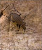 Swedish Groundbeetles, Jordlöpare (Carabidae)