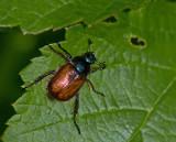 Swedish Scarab Beetles, Bladhorningar  (Scarabaeidae)