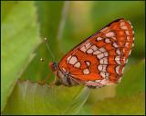 Scarce Fritillary, Asknätfjäril   (Euphydryas maturna).jpg