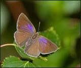 Purple Hairstreak, Eksnabbvinge  (Favonius quercus)