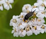 Swedish Tumbling Flower beetles, Tornbaggar, (Mordellidae)