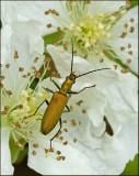 Swedish Flower Beetles, Blombaggar (Oedemeridae)